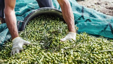 """Photo of Preocupa que no lleguen trabajadores """"golondrinas"""" para las diferentes cosechas"""