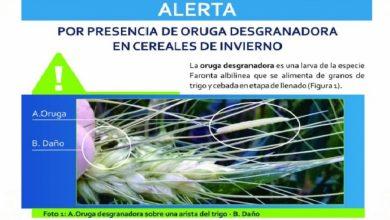 Photo of Alerta por presencia de oruga desgranadora en cultivos de invierno