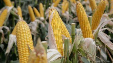 Photo of El Gobierno dejará sin efecto todas las restricciones para exportar maíz