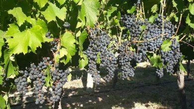Photo of Esperan producir 40 mil litros de vino en Casa de Piedra