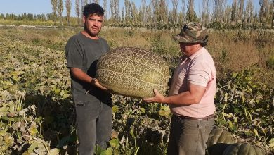Photo of Productores de 25 de Mayo cosecharon zapallos gigantes