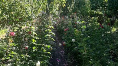 Photo of Productor plantó un millar de bulbos de tulipanes en 25 de Mayo